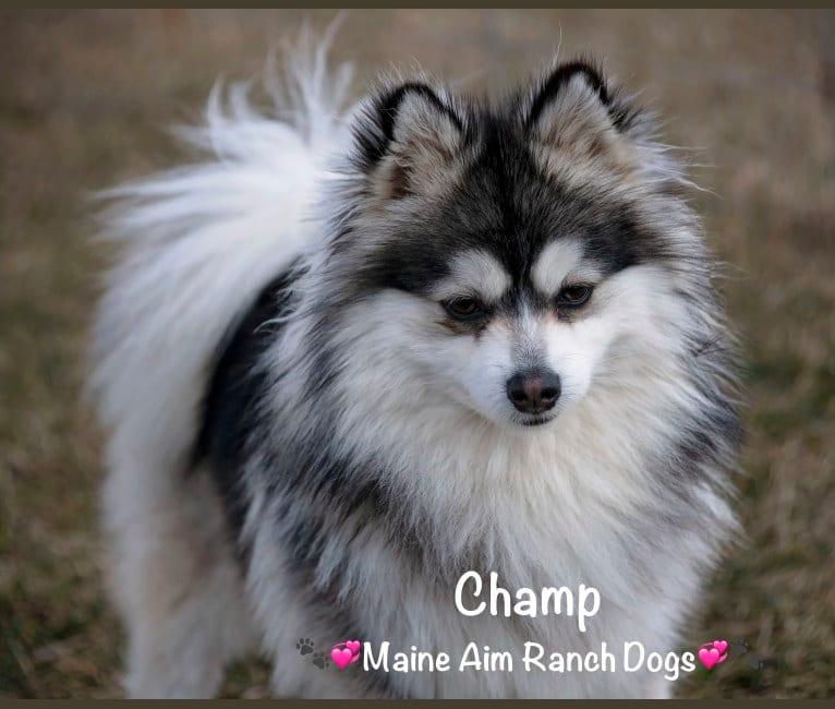 Photo of Champ, a Pomsky  in Vernal, UT, USA
