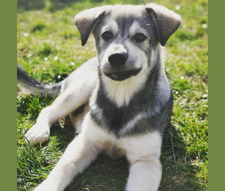 Photo of Timber, a Siberian Husky, American Bulldog, Bichon Frise, German Shepherd Dog, Pomeranian, and Mixed mix in Manitoba, Canada