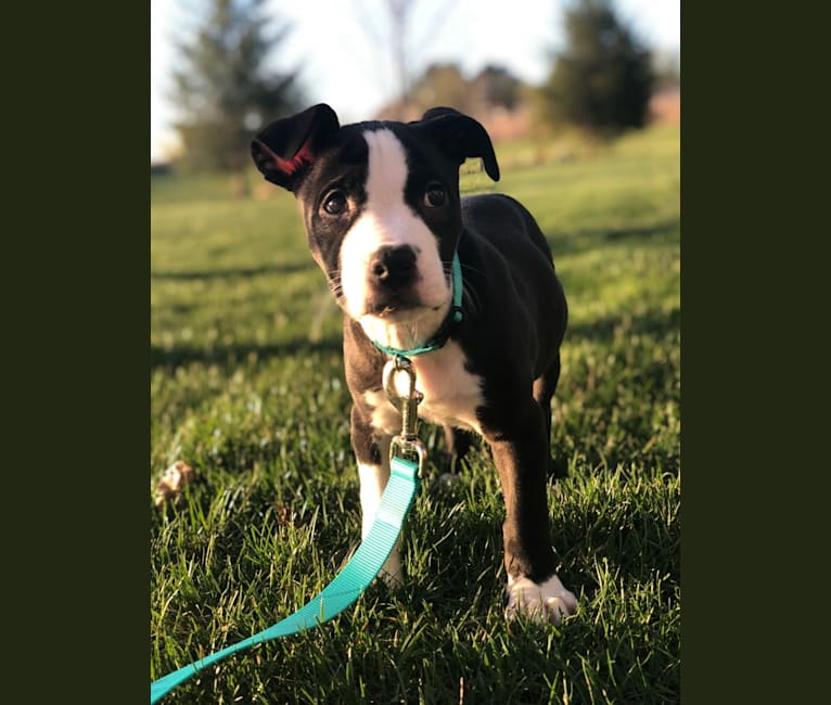 Photo of Ellie, an American Pit Bull Terrier and American Staffordshire Terrier mix in Indianapolis, IN, USA