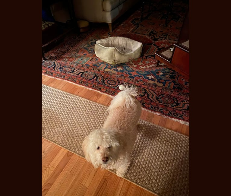 Photo of Samson, a Poodle (Small), Cocker Spaniel, and Mixed mix