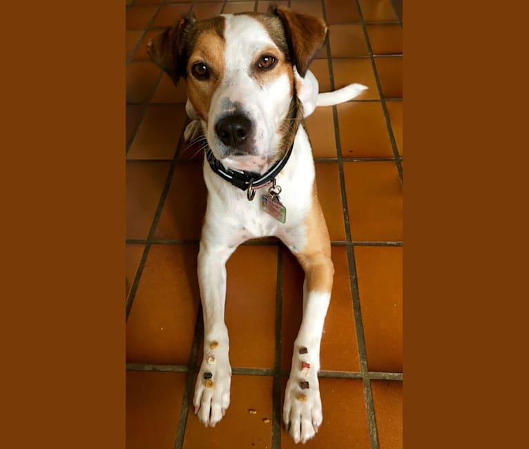 Photo of Strudel, an American Pit Bull Terrier, Russell-type Terrier, German Shepherd Dog, and Mixed mix in Madrid, Spain