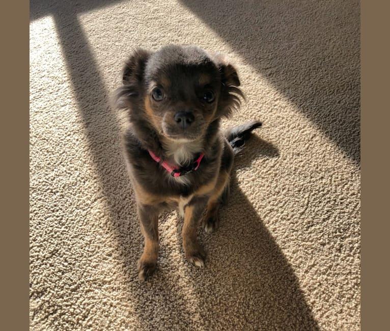 Photo of Zuna, a Chihuahua  in Edmonton, AB, Canada