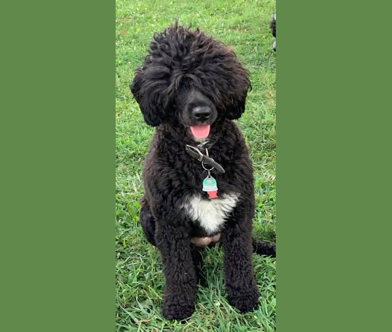 Photo of Nyx, a Portuguese Water Dog  in Elmer, New Jersey, USA