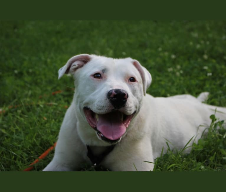 Photo of Winnie, an American Pit Bull Terrier, American Staffordshire Terrier, Labrador Retriever, and Siberian Husky mix in Fowler, Kansas, USA