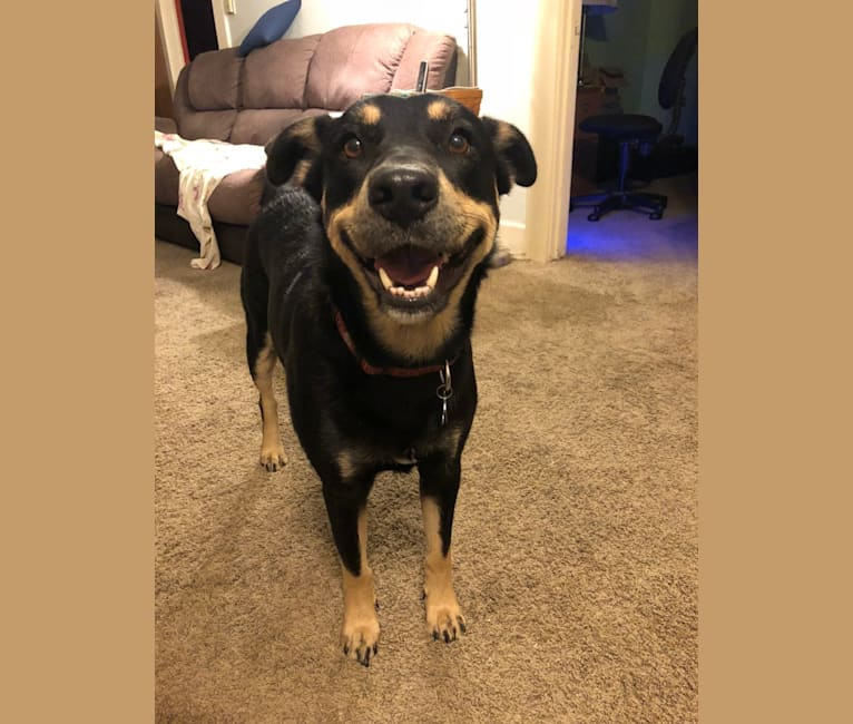 Photo of Scotch, a Labrador Retriever, German Shepherd Dog, Rottweiler, American Pit Bull Terrier, and Chow Chow mix in Riverside, California, USA