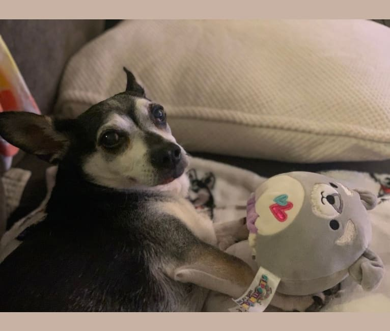 Photo of Mojo-Jojo, a Chihuahua, Poodle (Small), and Dachshund mix in California, USA