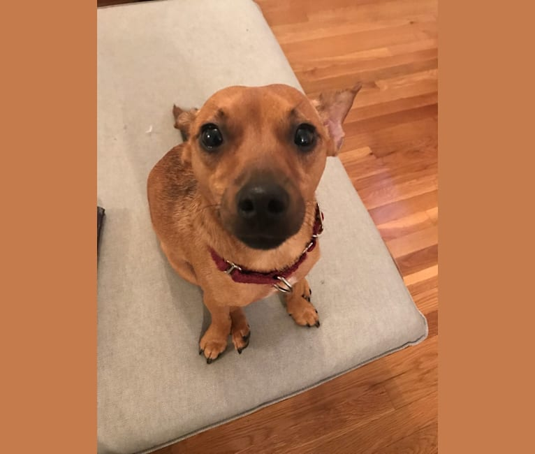 Photo of Gator, a Rat Terrier, Chihuahua, and Dachshund mix in Winthrop, Massachusetts, USA