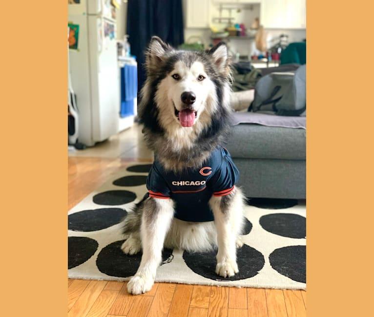 Photo of Chance, an Alaskan Malamute  in Chicago, Illinois, USA