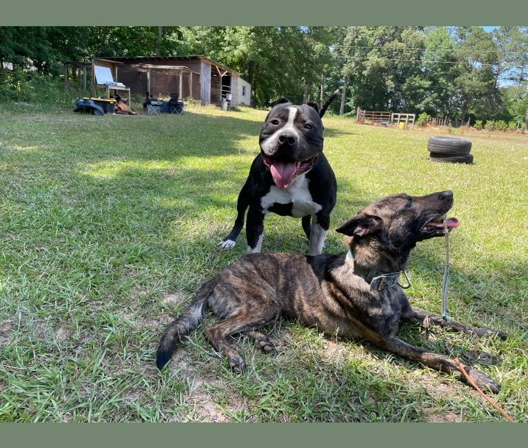Photo of Hex, an American Bully, American Pit Bull Terrier, and American Staffordshire Terrier mix