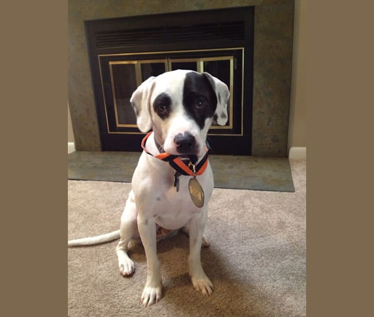 Photo of Snoopy, an American Pit Bull Terrier and Beagle mix in Cincinnati, Ohio, USA