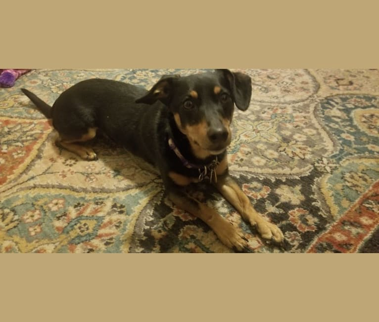Photo of Bean, a Dachshund, Poodle (Small), and Mixed mix in Aston, Pennsylvania, USA