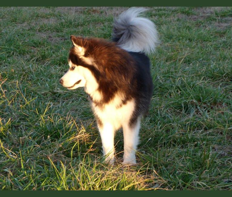 "Photo of ""NEO"" NOVEL SIBERIAN'S SLEIGH RIDE, a Siberian Husky  in Alabama, USA"
