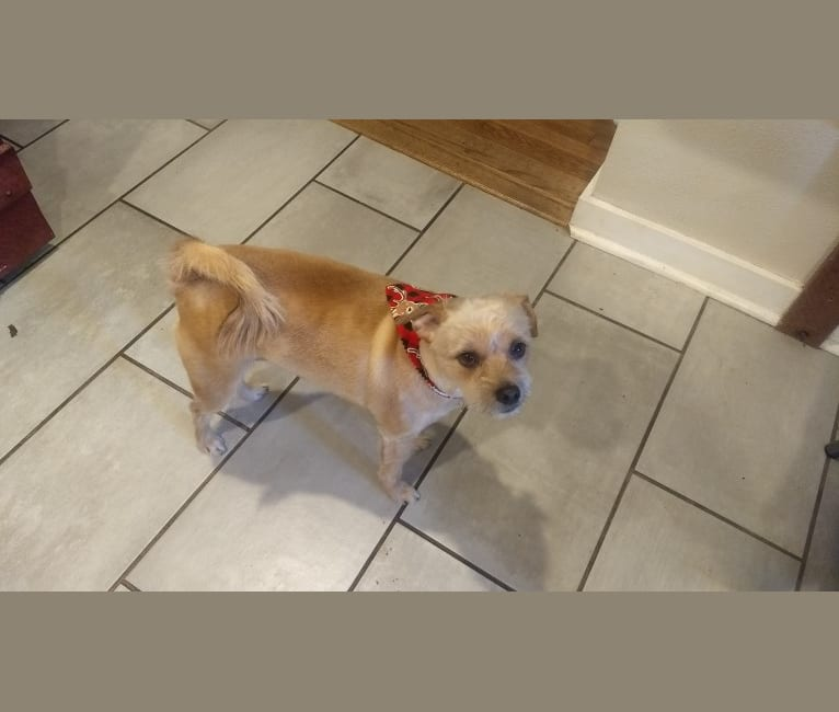 Photo of Rusty, a Russell-type Terrier and Miniature Pinscher mix in Nixa, Missouri, USA