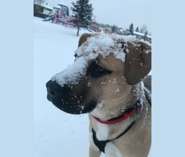 Photo of Storm, a Boxer, Akita, and Rottweiler mix in Anchorage, Alaska, USA
