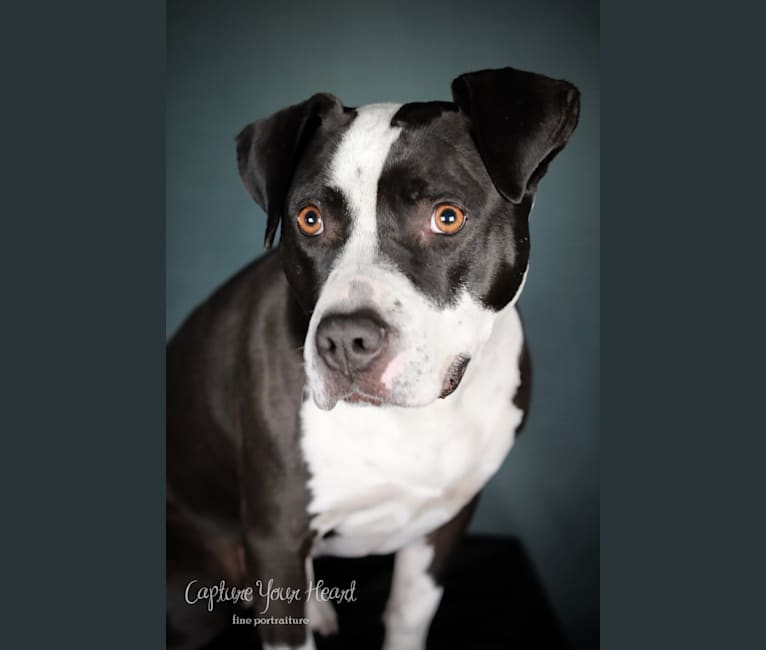 Photo of Nyx, an American Pit Bull Terrier and American Staffordshire Terrier mix in Buffalo, New York, USA