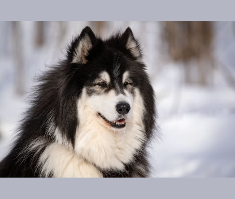 Photo of Nuvik, a Siberian Husky, Samoyed, and Alaskan Malamute mix in Sainte-Anne-de-Beaupré, QC, Canada