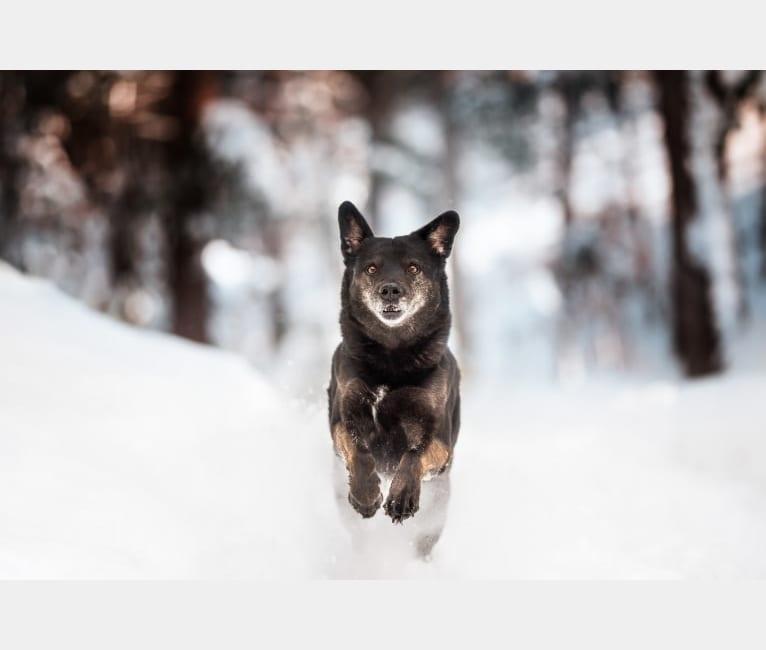 Photo of Mowgli, a Labrador Retriever, Alaskan Malamute, and German Shepherd Dog mix in Québec, Canada