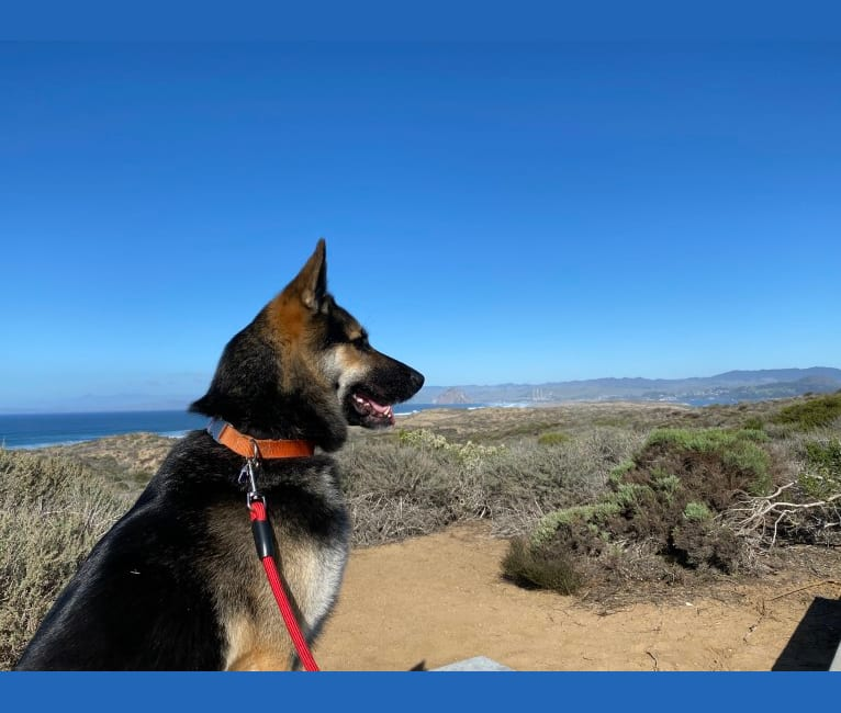 Photo of Puck, a German Shepherd Dog, Siberian Husky, and Chow Chow mix in Los Angeles, CA, USA