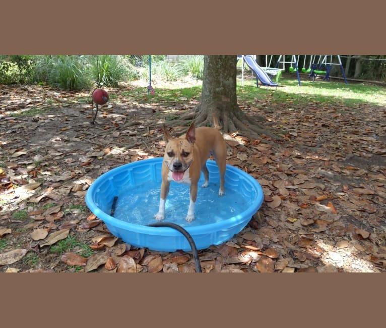 Photo of Aisha, an American Staffordshire Terrier  in Alabama, USA