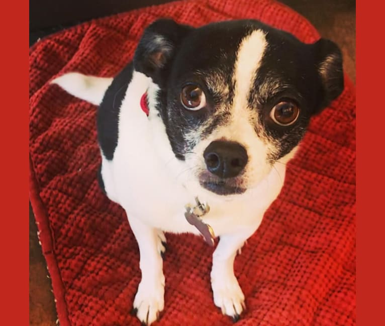 Photo of Ernie, a Chihuahua, Poodle (Small), and Mixed mix in Los Angeles, California, USA