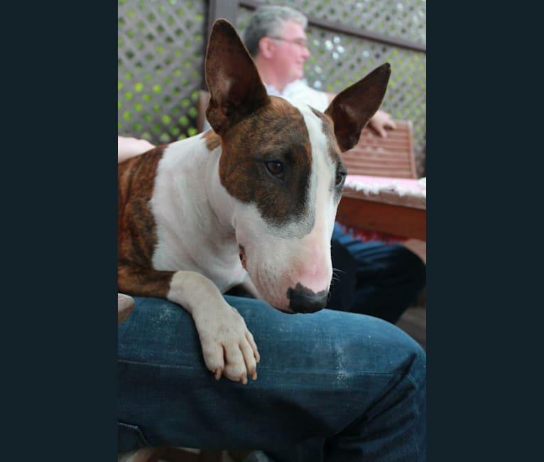 Photo of Samson, a Bull Terrier  in Chalfont, Pennsylvania, USA