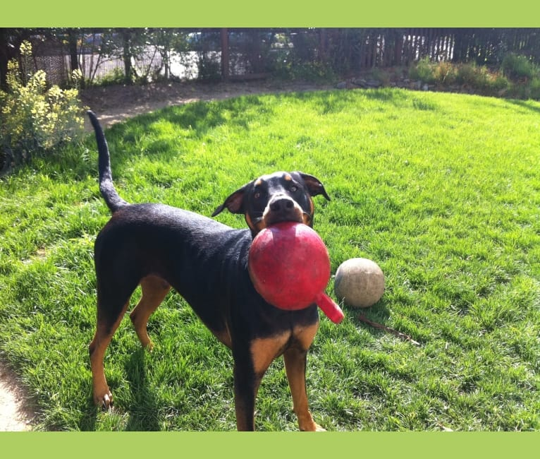 Photo of Neo, a Doberman Pinscher, Rottweiler, and American Pit Bull Terrier mix in Oakland, CA, USA