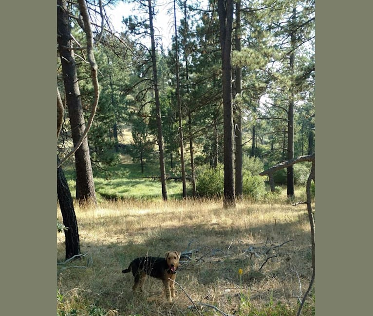 Photo of Sasha, an Airedale Terrier  in ranch near Tule Springs, AZ, USA
