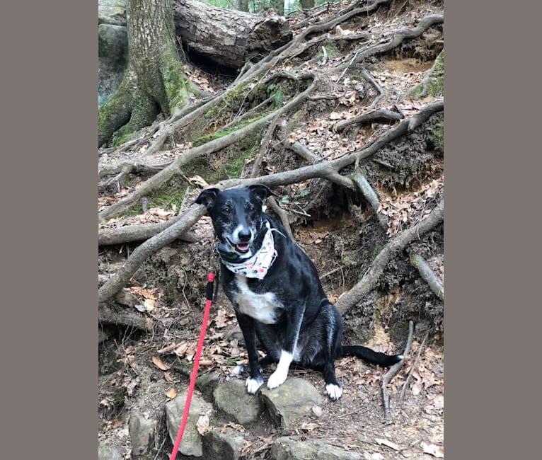 Photo of Zoe, a McNab  in Portland, Oregon, USA