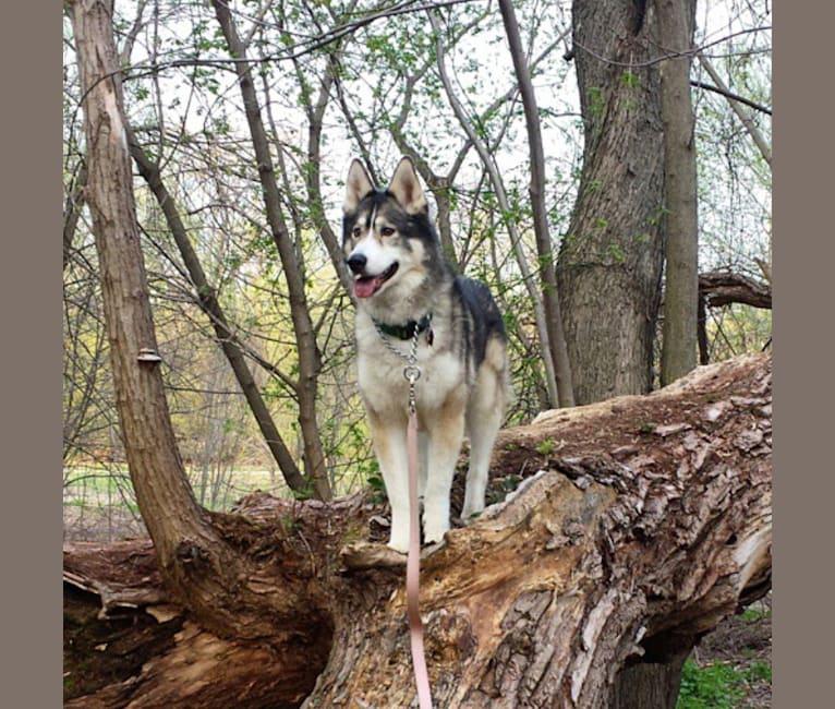 Photo of Mazzy, a Siberian Husky and Alaskan Malamute mix in Hope Animal Shelter, Easy Street, Ironwood, MI, USA