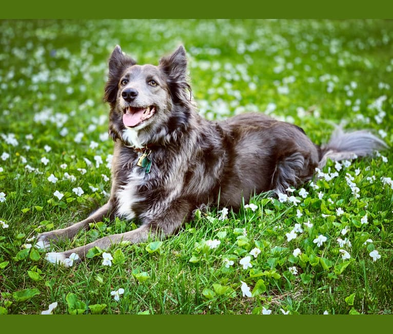 Photo of SheRa, a Border Collie, Collie, and German Shepherd Dog mix in San Antonio de Areco, Buenos Aires Province, Argentina