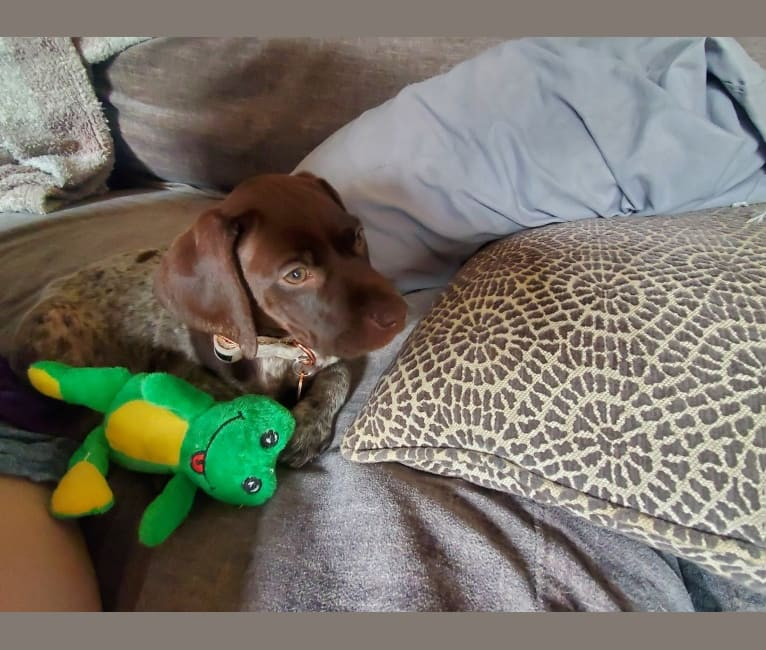 Photo of Tinsley, a German Shorthaired Pointer  in Lillington, NC, USA