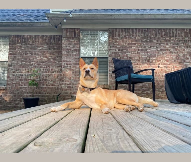 Photo of Kevin, an Akita, American Pit Bull Terrier, Chow Chow, and Mixed mix in Memphis, Tennessee, USA