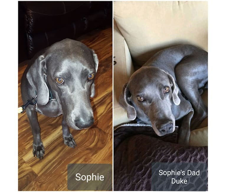 Photo of Sophie, a Weimaraner  in South Dakota, USA