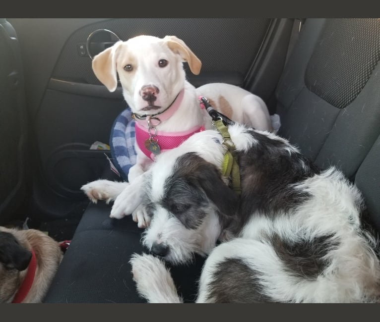 Photo of Valkyrie, an American Pit Bull Terrier, Shih Tzu, Cocker Spaniel, Chow Chow, and Mixed mix in Stray Rescue of St Louis, Pine Street, St. Louis, MO, USA