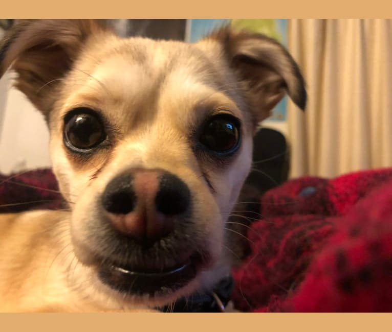 Photo of Daisy, a Chihuahua and Rat Terrier mix in Campbell, California, USA