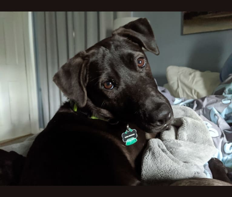 Photo of Luna, a Chinese Shar-Pei, American Pit Bull Terrier, German Shepherd Dog, Basset Hound, and Mixed mix in Puerto Rico