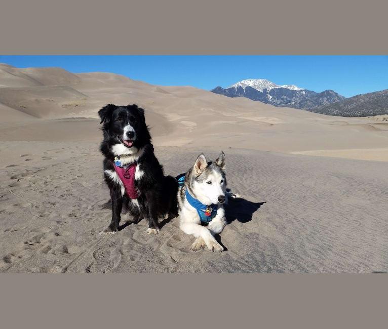 Photo of Lexi, an Australian Cattle Dog, Australian Shepherd, German Shepherd Dog, American Pit Bull Terrier, and Mixed mix in Mansfield, Texas, USA