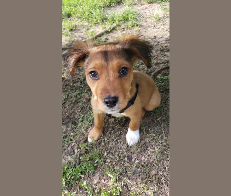 Photo of Pascal, a Mountain Cur, Boxer, American Pit Bull Terrier, Australian Shepherd, and Rottweiler mix in KCMO, Missouri, USA