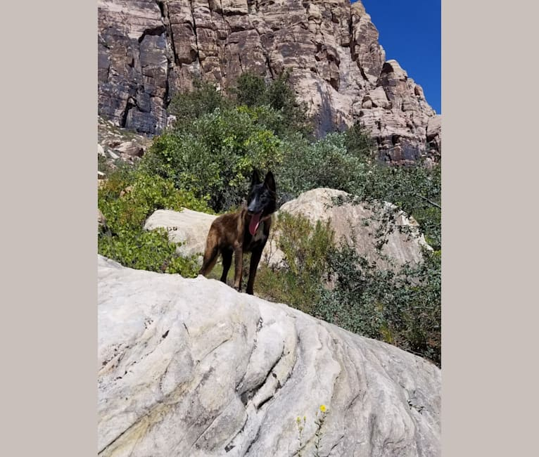Photo of Phoenix, a Belgian Shepherd  in Las Vegas, Nevada, USA