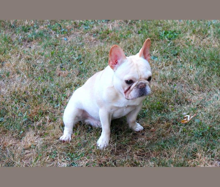 Photo of HENDRIX, a French Bulldog