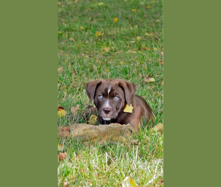 Photo of Abel, a Bulldog and Labrador Retriever mix in Great Falls, Virginia, USA