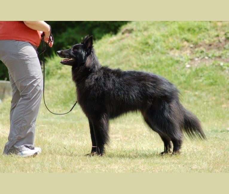 Photo of Colt, a Belgian Shepherd