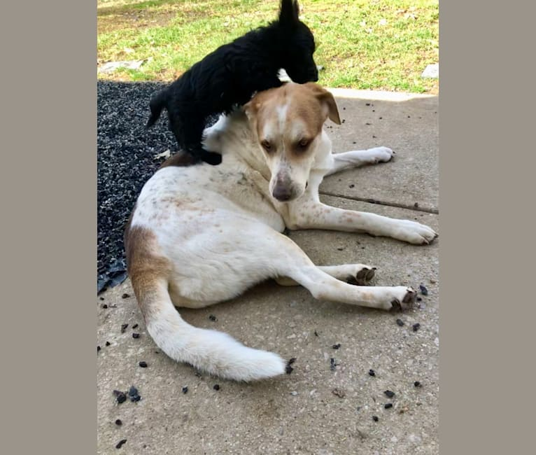 Photo of Bounce, a German Shepherd Dog, Golden Retriever, Australian Shepherd, American Pit Bull Terrier, and Mixed mix in Tennessee, USA
