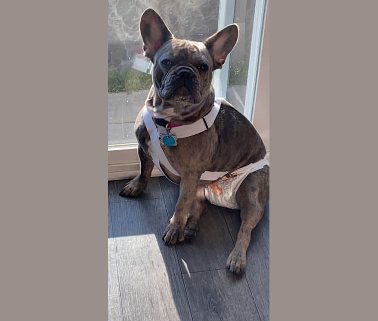 Photo of Maia, a French Bulldog  in Kiev, Ukraine