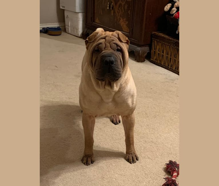 Photo of Ace, a Chinese Shar-Pei  in Missouri, USA