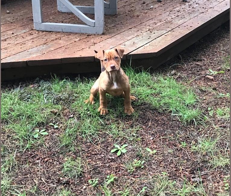 Photo of Bella, an American Pit Bull Terrier, Golden Retriever, German Shepherd Dog, Australian Cattle Dog, and Mixed mix in Belfair, Washington, USA