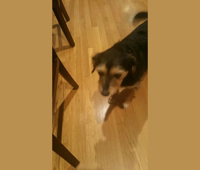 Photo of DOLLY, a Dachshund, Chihuahua, Yorkshire Terrier, Beagle, and Labrador Retriever mix