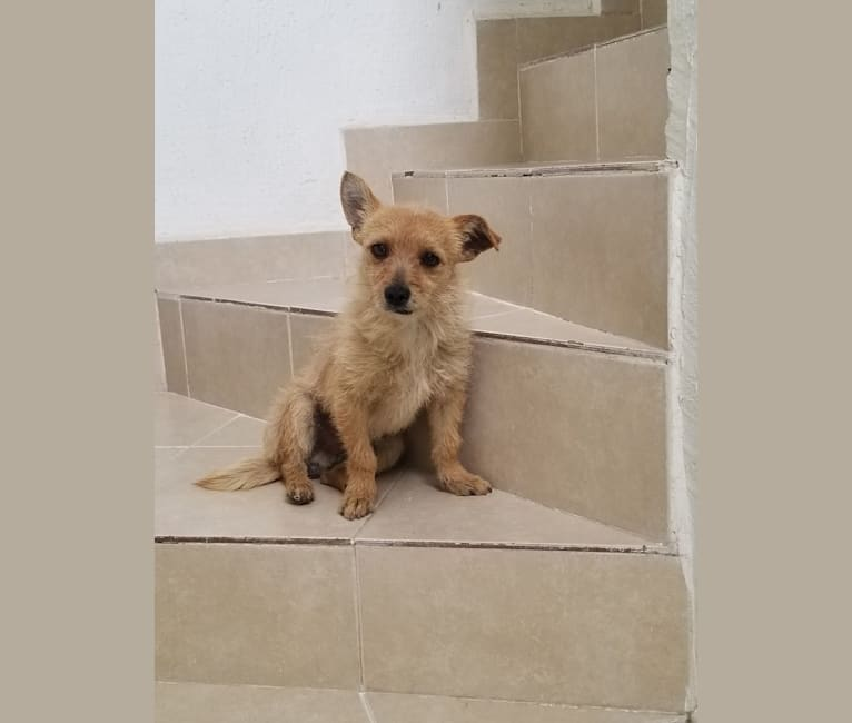 Photo of Toby, a Chihuahua, Poodle (Small), and Mixed mix in Torreón, Coahuila, Mexico