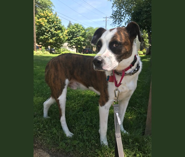 Photo of Kingsley, an American Pit Bull Terrier, Boxer, Beagle, and Australian Cattle Dog mix in Kentucky, USA