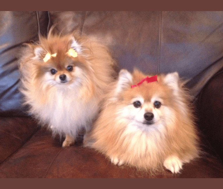 Photo of Mini, a Pomeranian  in Philadelphia, Pennsylvania, USA